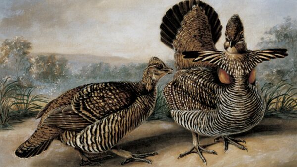 Two ruffed grouse in the foreground with a landscape in the background.