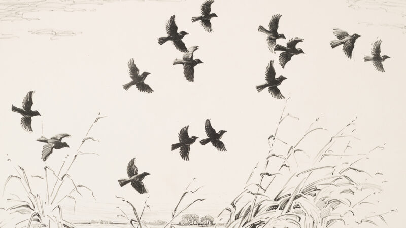 Blackbirds in fliight above cattails in a black and white print.